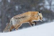 Red foxes range far and wide in search of food at this time of year. Deep snow and howling winds make hunting even more difficult, leaving this vixen, traveling many miles a day in search of her next meal.