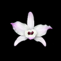 White dendrobium orchid flower with purple tipped petals on black background.<br />