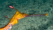 Pipefishes and Seahorses