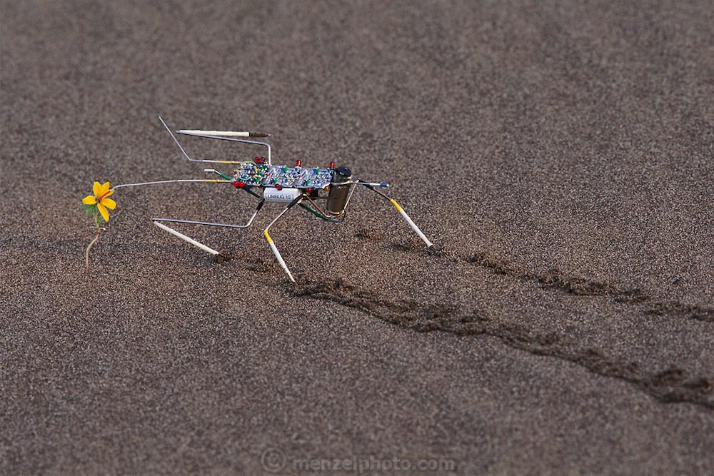 "Mark Tilden's robot: the analog nervous net- ""Unibug 1.0"" walking on the great Sand Dunes National Monument  in Colorado. Amazingly, the autonomous robot walked up to the flower and stopped exactly with it's antenna in the center of the flower which had just bloomed after a recent rain. Robo sapiens Project."
