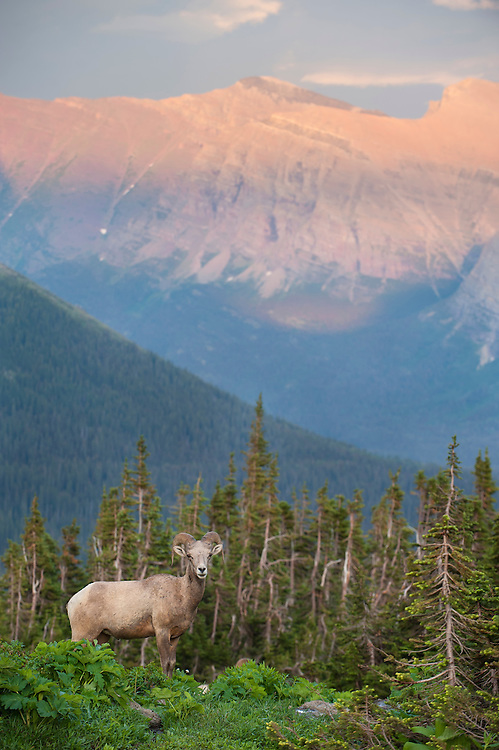 Bighorn Ram (Ovis canadensis) with a mountain backdrop, Glacier National Park, Montana