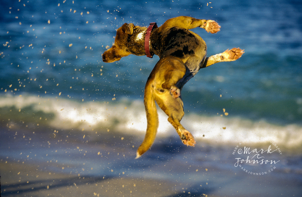 Dog leaping in the air at beach *****Property Release available
