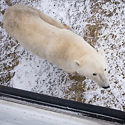 A polar bear (Ursus maritimus) near Hudson Bay, outside of the town of Churchill, far north Manitoba, Canada.  The bears congregate near Cape Churchill in great numbers, awaiting the return of the ice as the winter starts. Their is little to no food available for the bears while they are in Churchill, so they must fast for months at a time. The bears rely on fat stores they build in the winter, and can lose 40% of their weight before the sea ice returns.  Photo © William Drumm, 2013.