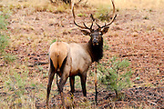 07 SEPTEMBER 2002 - GRAND CANYON NATIONAL PARK, ARIZONA, USA: A bull elk rubs in the Grand Canyon National Park in northern Arizona, Sept. 7, 2002. PHOTO BY JACK KURTZ
