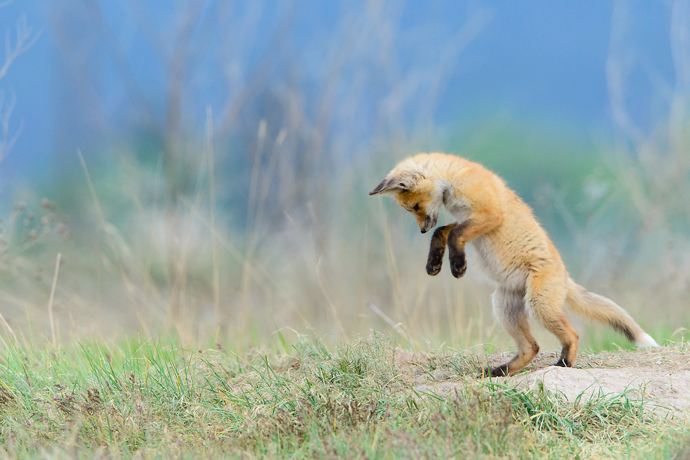 Red Fox cub at play (Vulpes vulpes), Missoula, Montana