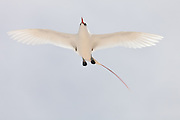 Red-tailed Tropic bird out-stretched wings