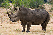 White- or Square-lipped Rhinoceros, Ceratotherium simum.  Solio Ranch, Kenya.