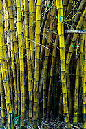 Stand of yellow bamboo at Keanae Arboretum, Keanae, Maui, Hawaii