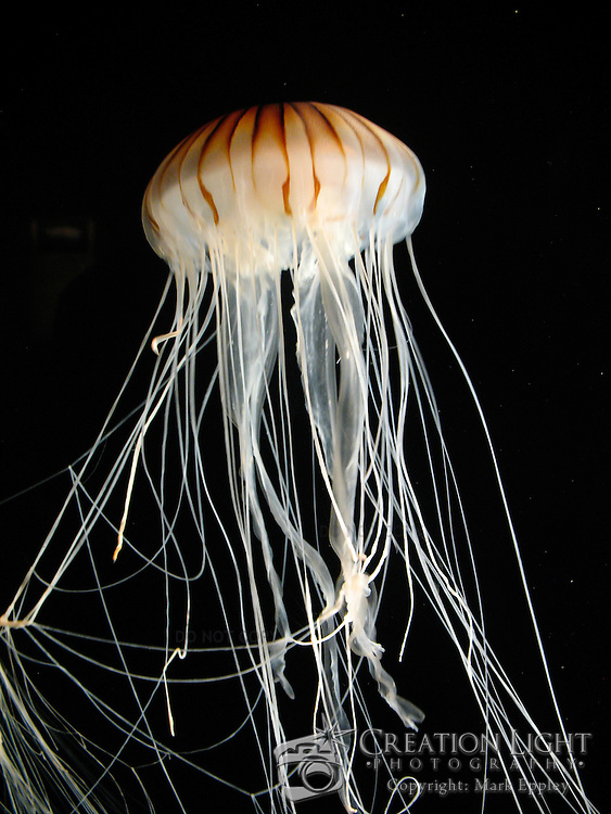 The Monterey Aquarium in California contains many types of jellyfish. Pictured here is a white jellyfish with orange strips
