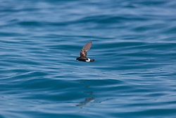 A tiny Wilson's Storm Petrel skims the waters off Willie Creek, north of Broome.