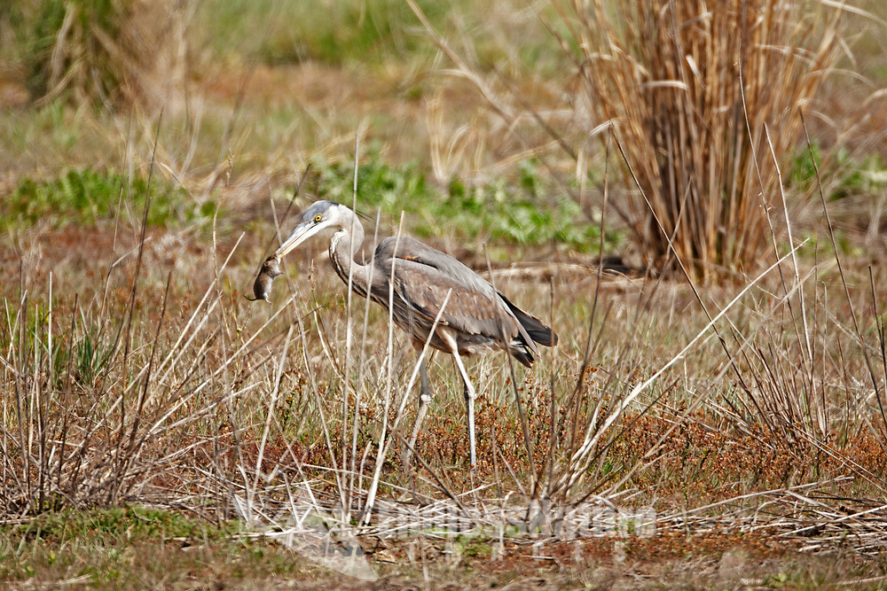 Great Blue Heron not only eat fish they hunt mice in the wetland fields.