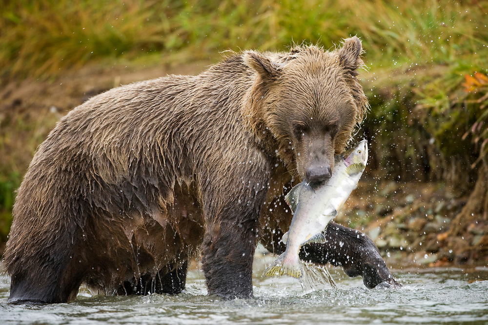 USA, Alaska, Katmai National Park, Kinak Bay, Brown Bear (Ursus arctos) pulls spawning salmon from river on autumn day