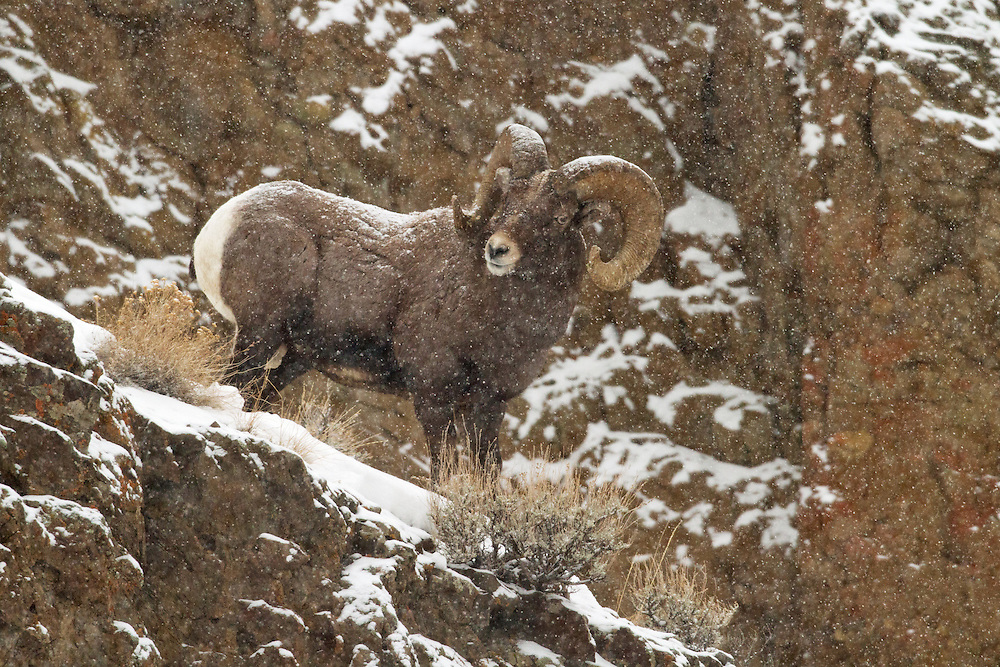 Bighorn sheep are agile climbers that can easily navigate steep, rocky slopes. This climbing ability helps bighorns escape predators and their specialized hooves help them gain traction in icy conditions.