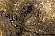 Rogue African Elephant bull destroyed as a result of a severe infection in his one tusk root, Phinda Private Game Reserve, Zululand, KwaZulu Natal, South Africa