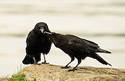 The one crow walked up from the shore with a morsel in its mouth and its mate twisted its head to take a piece from its mate.