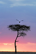 Sunset in Africa silhouette of an acacia tree Large bird taking off.