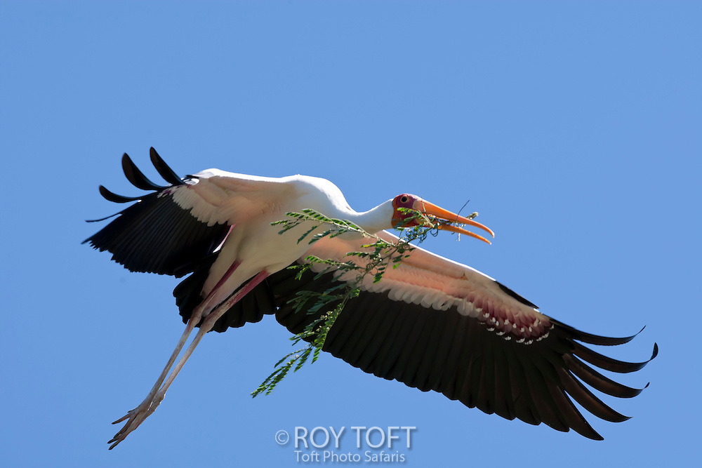 A yellow-billed stork in flight over South Luangwa National Park, Zambia