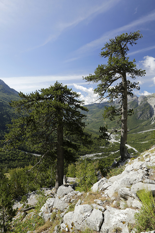Trees above the valley of Theth,  towards Qafa Pejes, Albania.