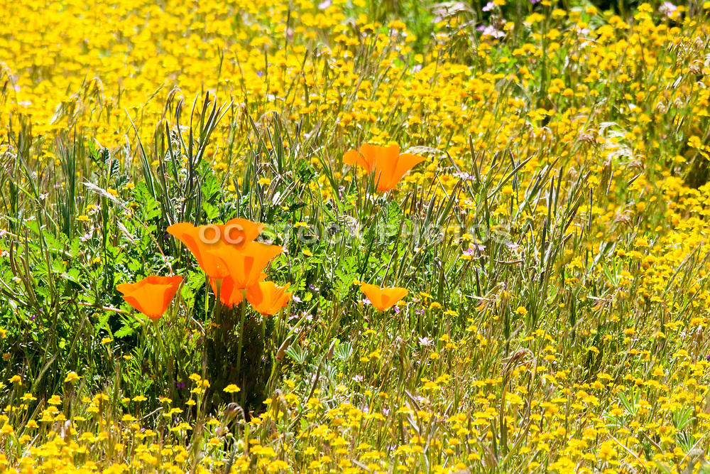 California Poppy State Flower