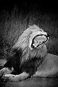 A male lion yawns as it rests in Manyeleti Conservancy.