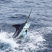 Blue Marlin jumping close the boat offshore Luanda, Angola