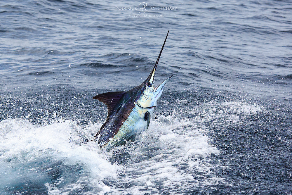 Blue Marlin jumping close the boat offshore Luanda, Angola