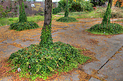 Four trees on a Seattle sidewalk with vines covering their trunks.