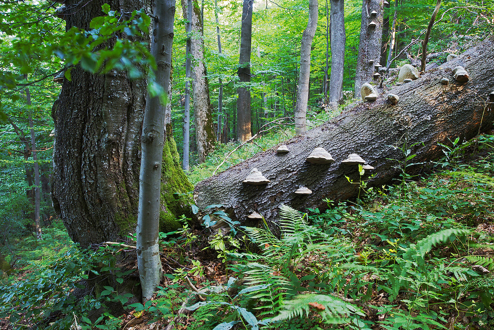 Funghi growing on an old fallen Common beech (Fagus sylvatica) tree in Jarabá Skala  Nature Reserve. Runina area, Mount Durkovec (1189 m), Slovakia.