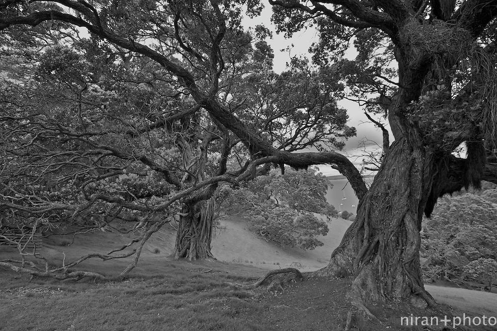 Pohutukawa Tree, Waiheke Island