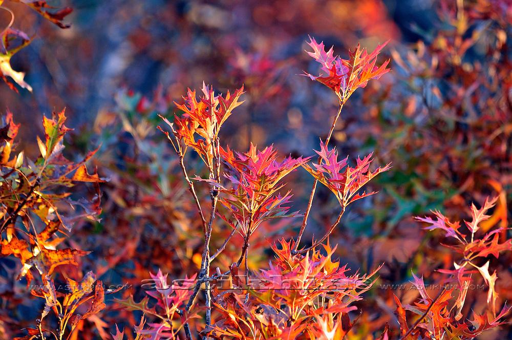 Oak Leaves at Fall.