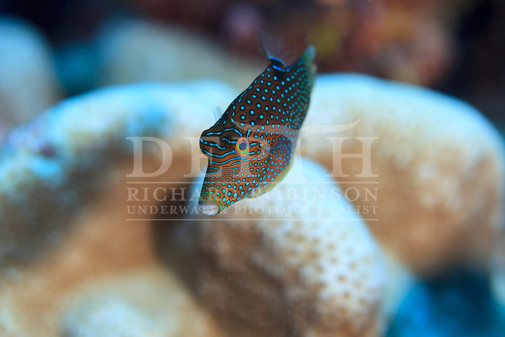 Canthigaster solandri (Solander&rsquo;s Toby) also known as the Spotted sharpnose at Palmerston Atoll in the Cook Islands.<br /> Saturday 03 January 2015<br /> Photograph Richard Robinson &copy; 2015