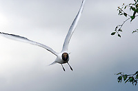 Gothenburg Sweden 20070629; Black-headed Seagull flying near trees. PHOTO BY TOM HANSEN.