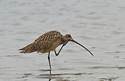 Long-billed Curlew, Elkhorn Slough, North America