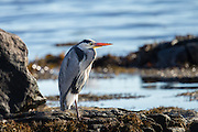 Grey Heron in a natural habitat, sitting in the shoreside and looking for food | Gråhegre i sitt naturlige habitat, sitter i fjøra og ser etter mat.