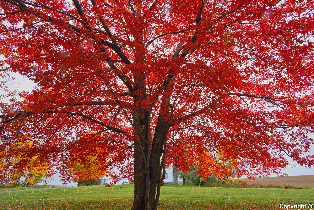 Sugar maple (Acer saccharum) tree in autumn foliage. <br />