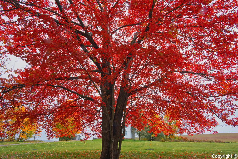 Sugar maple (Acer saccharum) tree in autumn foliage. <br />Woodstock<br />New Brunswick<br />Canada