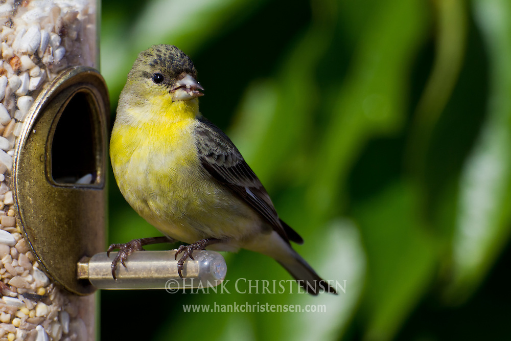 A lesser goldfinch perches at a bird feeding station