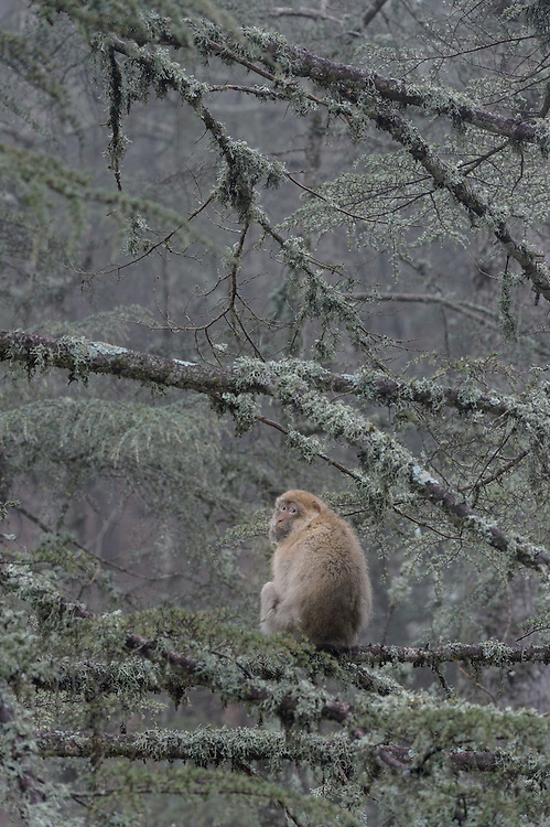 Barbary Macaque (Macaca sylvanus)<br /> Atlas cedar forests of Ifrane National Park<br /> Morocco