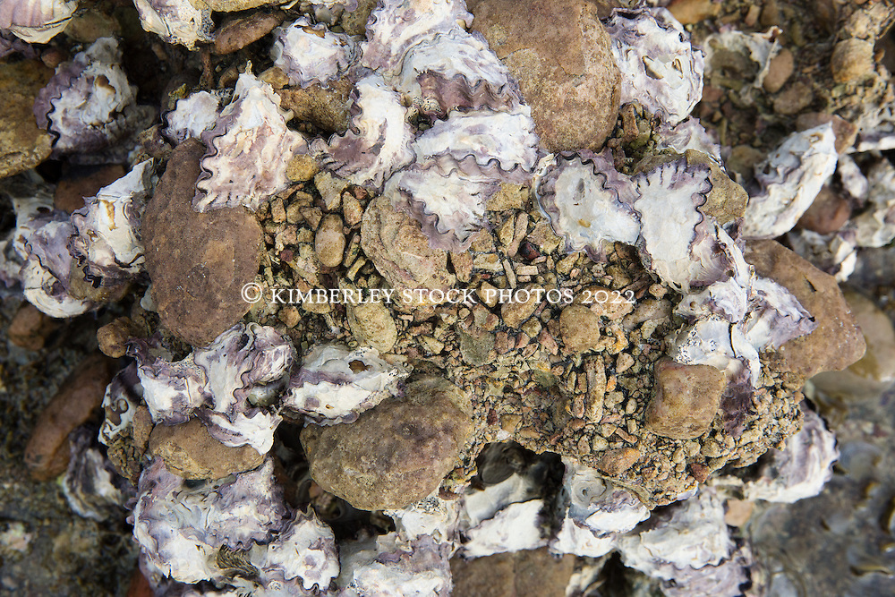 Rock oysters in the intertidal zone on Macleay Island on the Kimberley coast.