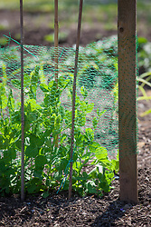 Green wire netting protection for young newly planted pea seedlings. Pisum sativum