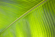 Green banana leaf<br />
