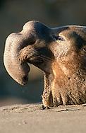 USA, Vereinigte Staaten Von Amerika: Nördlicher See-Elefant (Mirounga angustirostris), gähnender See-Elefantenbulle, adultes Tier mit grosser Nase, je älter das Tier desto grösser die Nase, sie ist Zeichen für physische Dominanz, die ältesten Bullen mit den größten Nasen sind Alpha-Bullen, Strand direkt neben California State Route 1, San Simeon, Kalifornien | USA, United States Of America: Northern Elephant Seal (Mirounga angustirostris), yawing bull elephant seal, adult animal with big nose, as older the animal so bigger the nose, it?s a sign for physical dominance, the oldes bulls with the biggest noses are alpha bulls, beach directly next to Cabrillo Highway 1, San Simeon, California |