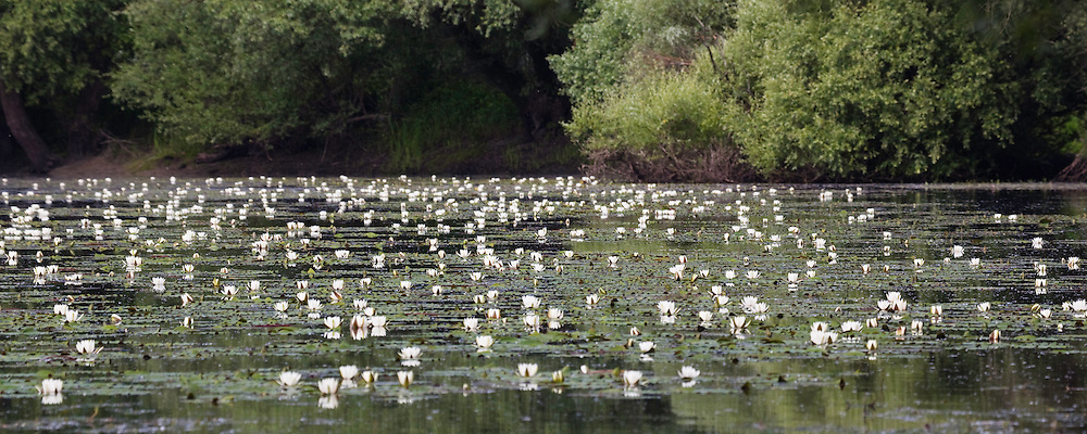 Backwater of Latorica River with water Lilies, Nymphaea alba, Eastern Slovakia, Europe, Latorica Altwasser mit Seerosen, Nymphaea alba, Slowakei, Europa