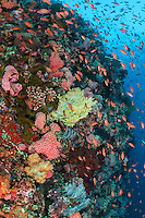 Anthias feed along a colorful reef wall<br /> <br /> Shot in Indonesia