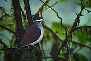 Indigo-Crowned Quail-Dove (Geotrygon purpurata)<br /> Mashpi Rainforest Biodiversity Reserve<br /> Pichincha<br /> Ecuador<br /> South America