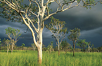 Australia Eucalyptus trees in field