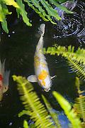 Koi, Japanese, carp, fish, hawaii