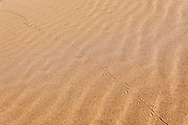 Lizard (Lacertilia) track in sand, in the Sahara desert of Morocco.