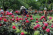 male person photographing red roses in public garden