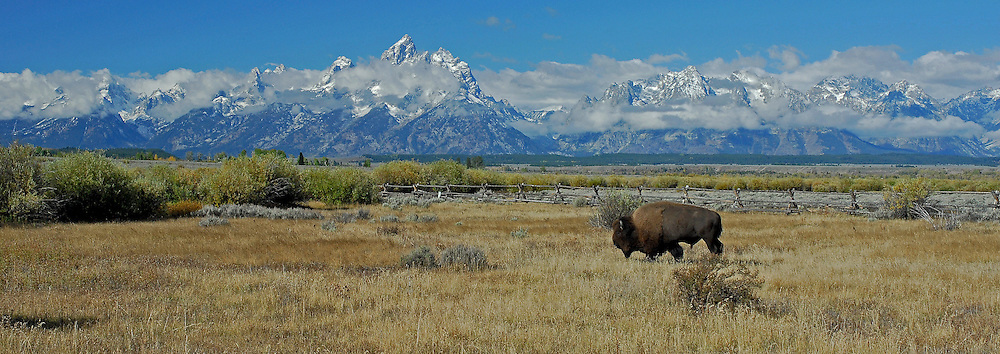 A lone bull bison travels through the sagebrush flats of Grand Teton National Park. Bison herds migrate to lower elevations in the Park prior to the onset of winter.